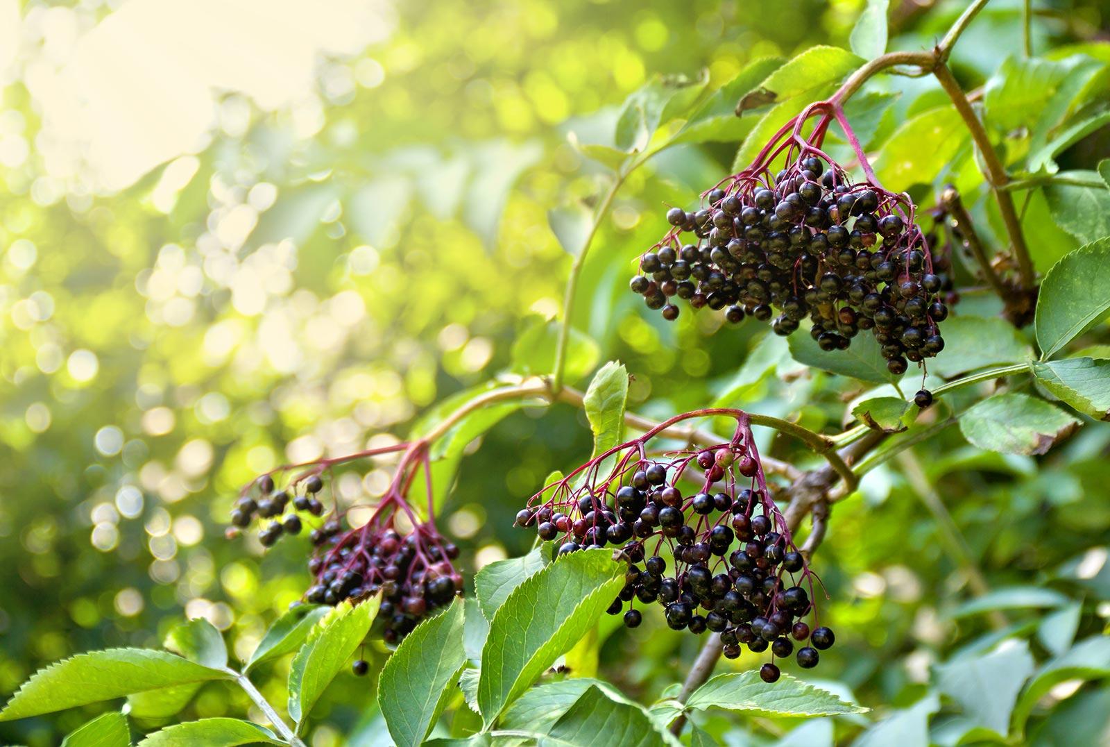 elderberry-plants